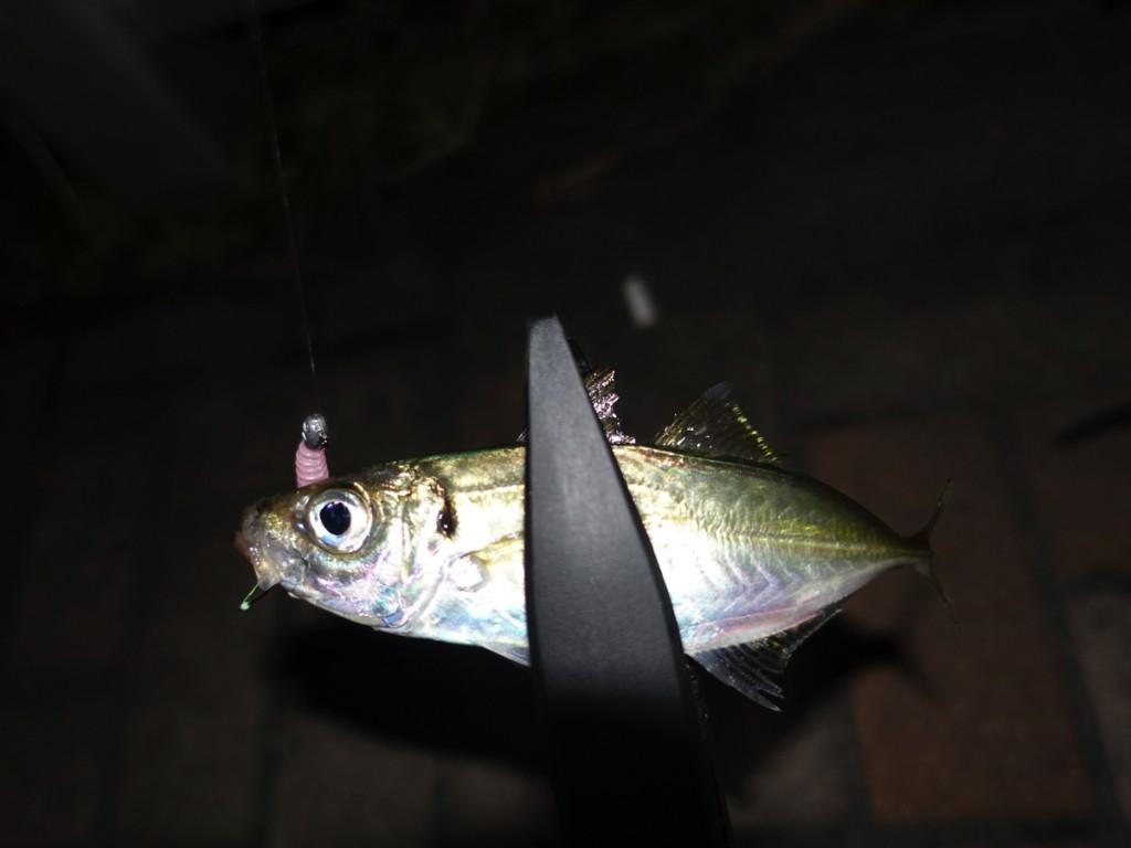 神戸最湾奥エリアでアジング調査!激シブ環境で豆アジ釣り。