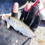 アジを使って泳がせ(ノマセ)釣りをしよう!仕掛けと釣るコツを解説
